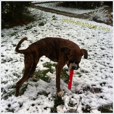 """Boxer Amy mit dem """"Universal Dummy"""" von PIPEU im Schnee"""
