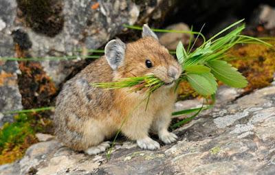 Pika - Animals That Start With P