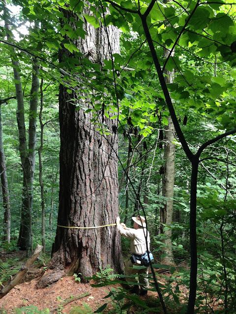 Bob Leverett measures Grandfather Pine, Aug 2014