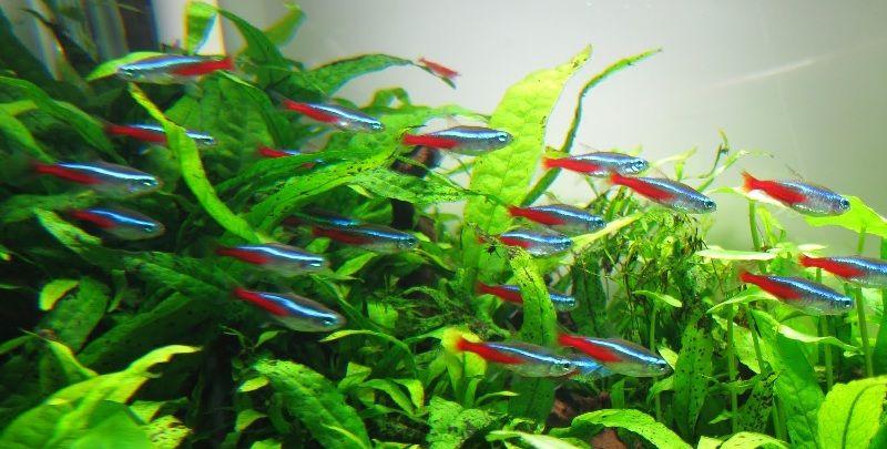 ikan neon tetra bertelur