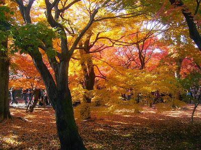 東福寺の紅葉〔絶景〕黄金色に染まる三ツ葉楓?