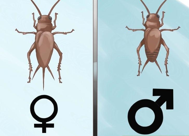 apa perbedaan jangkrik jantan dengan betina, bagaimana cara membedakan jangkrik jantan dengan betina