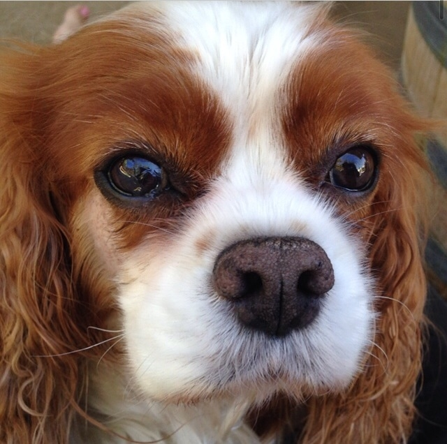 Close up of blenheim Cavalier King Charles Spaniel