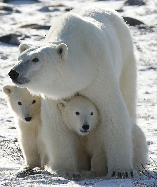 Pollutants in the Arctic environment are threatening polar bear health
