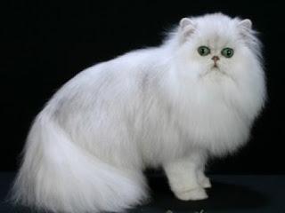Gambar Kucing Anggora Lucu dan Imut 10005