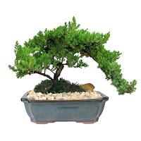 Japanese Juniper Bonsai, juniper bonsai for sale, juniper bonsai pruning, juniper bonsai care for beginners, juniper bonsai indoor care, can juniper bonsai be kept indoors, juniper bonsai turning brown, juniper bonsai winter care, juniper bonsai soil