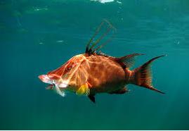 Ikan Hias Air Laut Hogfish