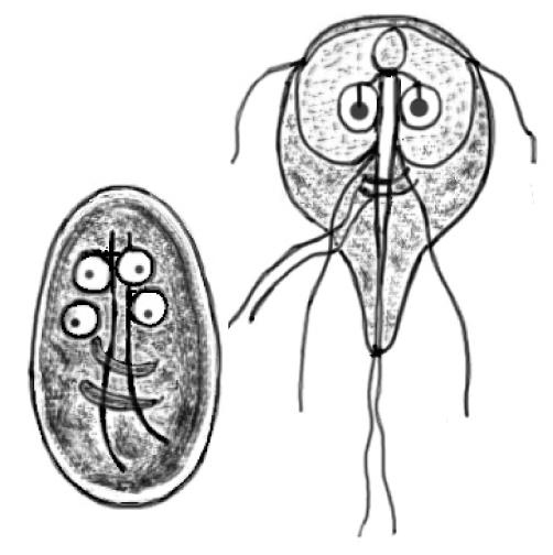 Giardia tipo de reproduccion