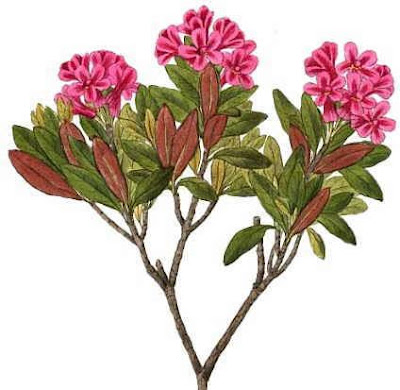 The very appearance of the plant reminds us of the bush, which during the summer, be decorated with a multitude of red flowers in the form of bells.