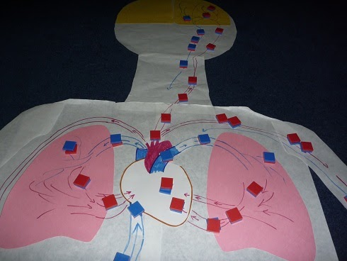 The homeschool den human body unit heart and circulatory for Home circulation system