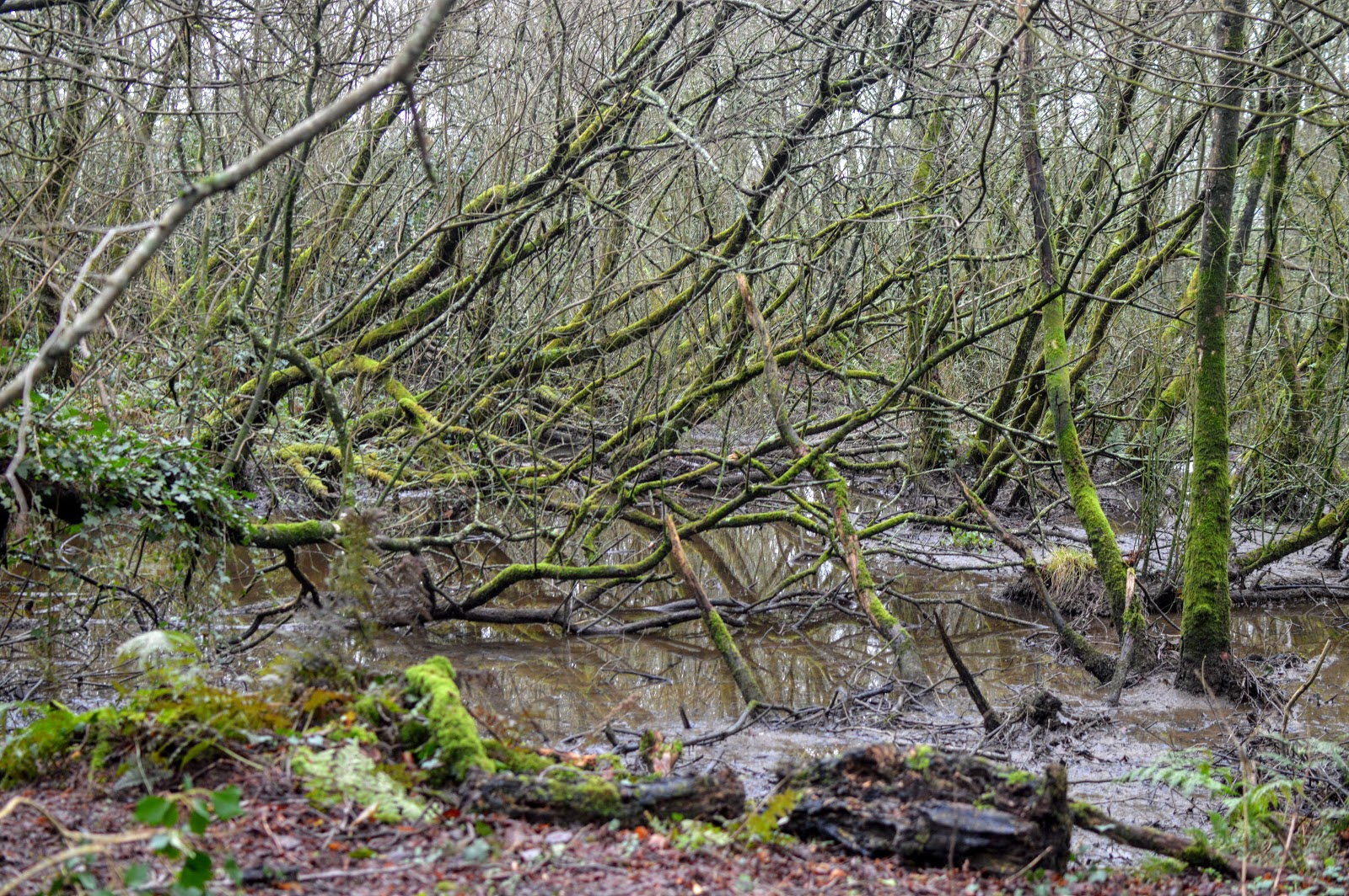 , A Winter Walk through Withybush Woods Pembrokeshire
