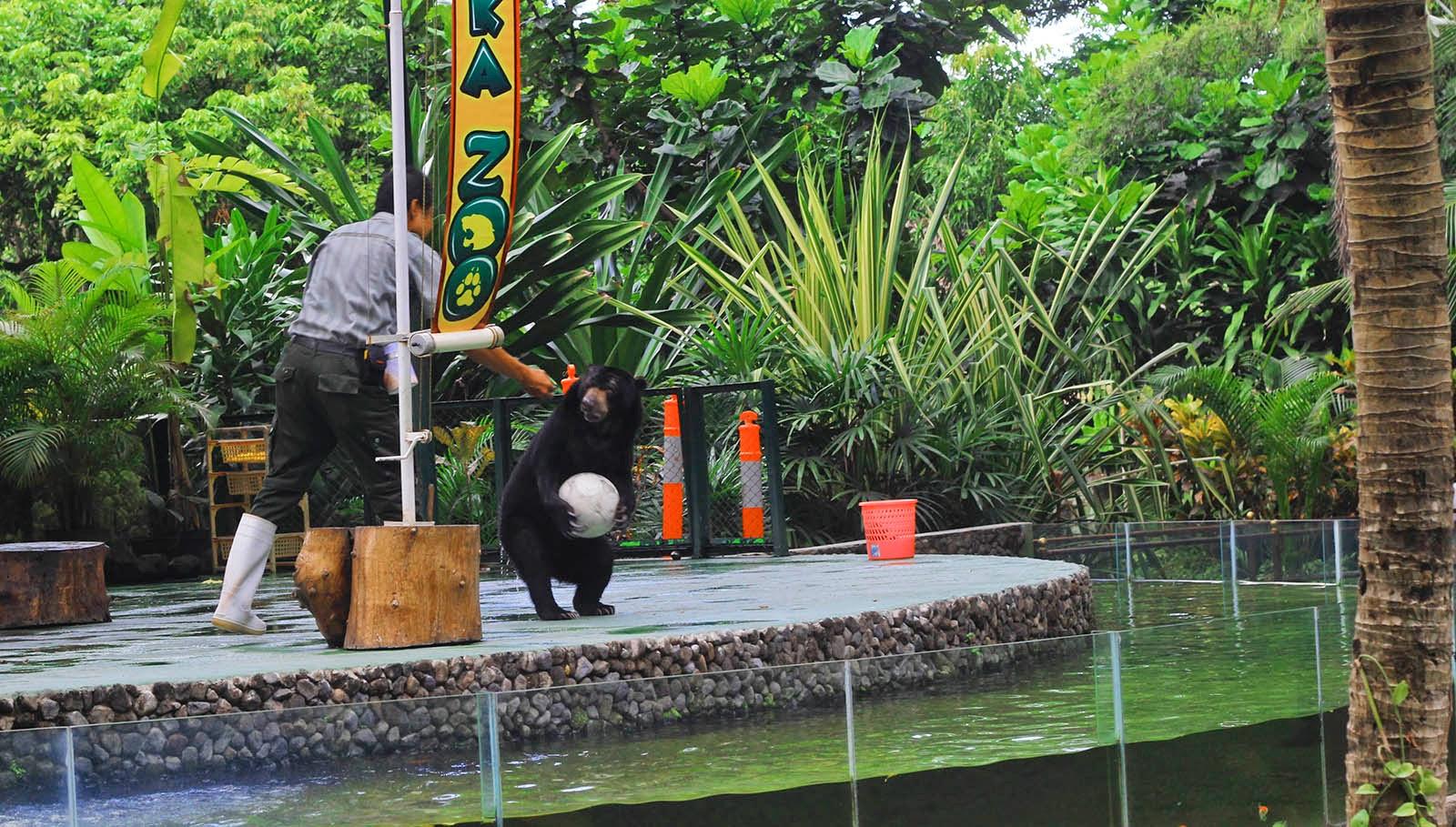 aksi beruang Gembiraloka