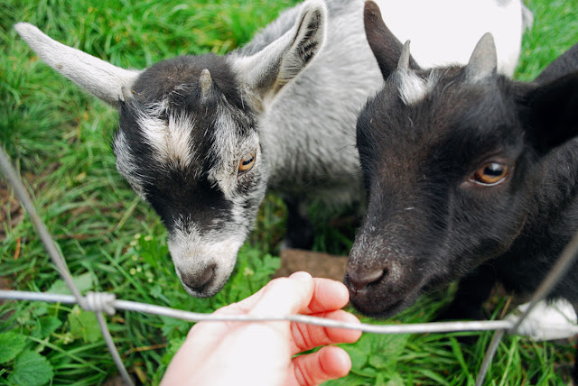 Pygmy goat kids - Gorgie City Farm