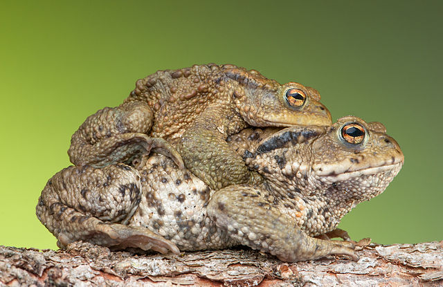 Two Bufo bufo in amplexus. Credit: Bernie Kohl