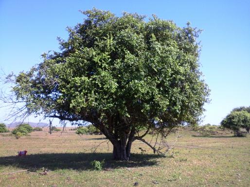 Bidara fruit is also known as Jujube fruit What is Bidara Fruit? - Bidara fruit is also known as Jujube fruit