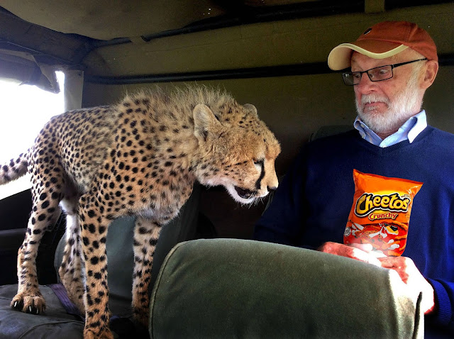 Cheetah spots a packet of Cheetos