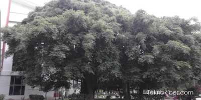 Misteri hantu penunggu pohon beringin