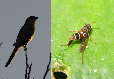 Fiscal shrike and paper wasp