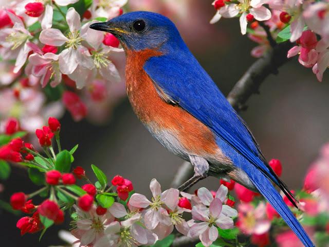 Lovely Bird HD Wallpapers, free download bird wallpaper, hd birds wallpapers for desktop, download hd wallpapers for pc, blue bird image,