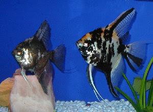 cara-memelihara-ikan-manfish.jpg