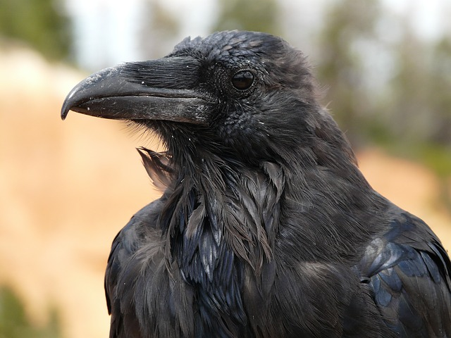 Les animaux magiques : le corbeau et la corneille  Raven-4589_640
