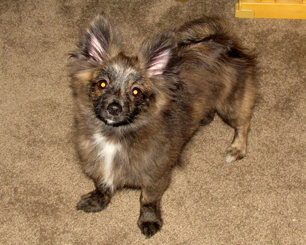 Top 12 Cutest Pomeranian Mix Dog Breeds - Puppies Club |Long Chihuahua Dachshund Pomeranian Mix