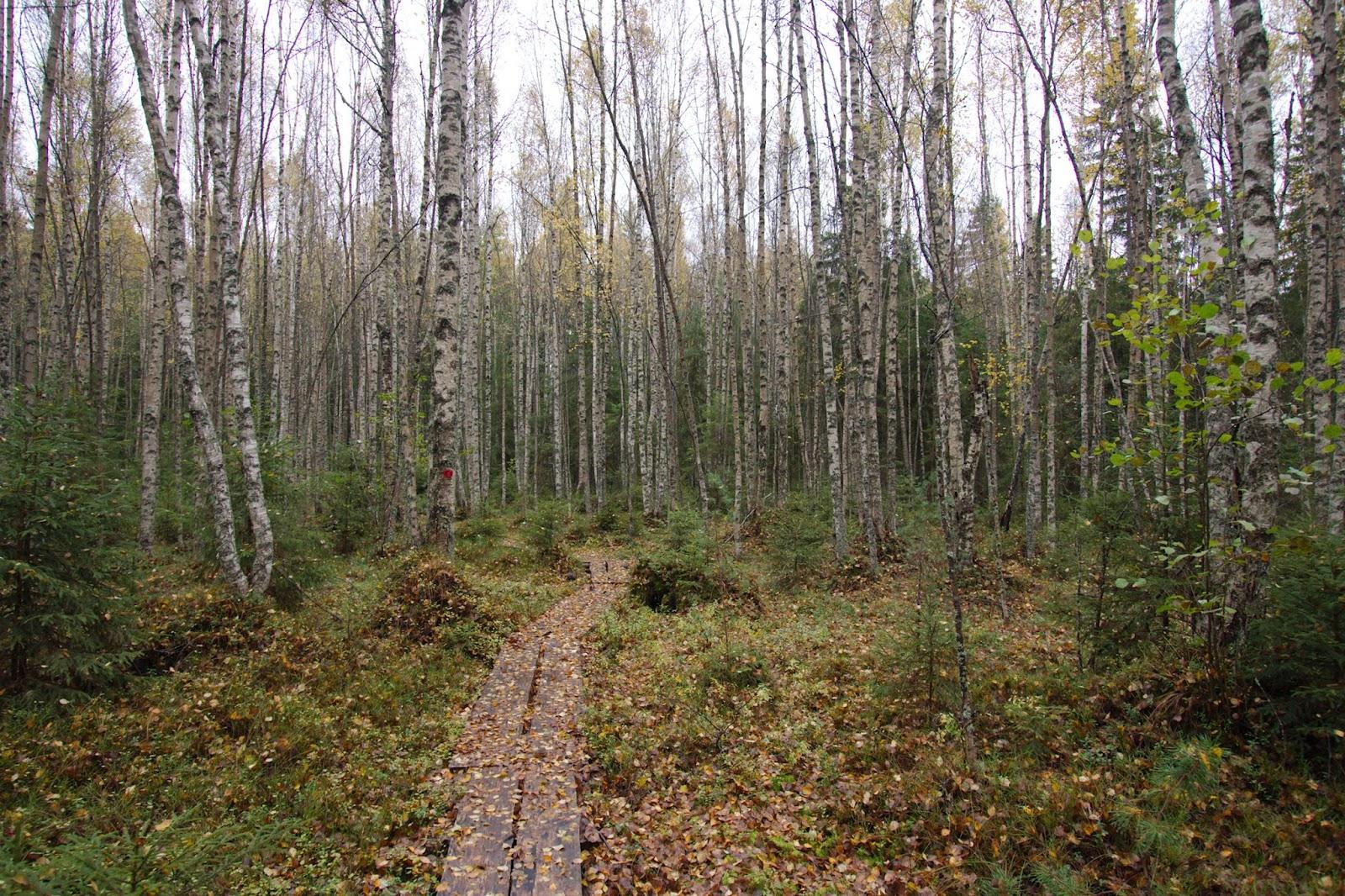 Pitkospuut koivikon halki Pitkäniemen laavua lähestyttäessä