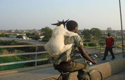 gambar lucu gratis digendong kambing