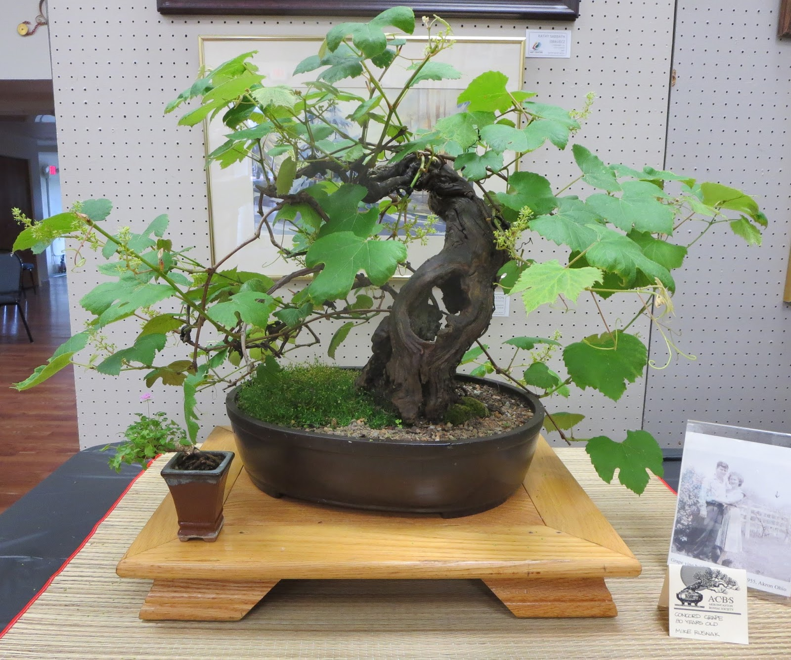 Akron Canton Bonsai Society June 2017 Wiring Yew 80 Year Old Concord Grape