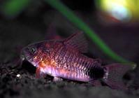 Jenis Ikan Corydoras caudimaculatus
