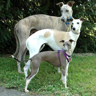 italian-greyhounds-and-whippets