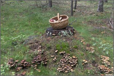 Cesta de pinícolas en su entorno micológico