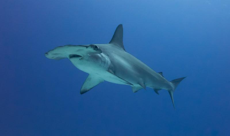Tubarão-martelo-recortado