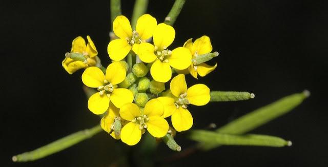 Erisimo y plantas cruciferas