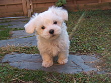 A Maltese small dog breed puppy