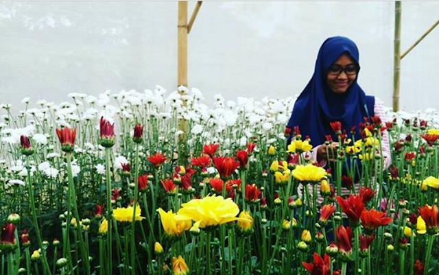Agrowisata Kebun Bunga Krisan Wonobodro, Blado, Batang