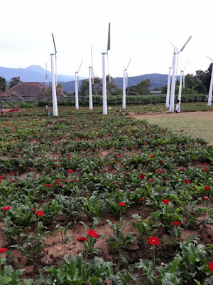 kebun bunga spot kincir baling-baling taman bunga celosia