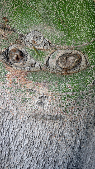 Queensland Bottletree at the LA Arboretum - looks like a face to me