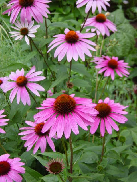 Echinacea - The Cure For Itchy Throat