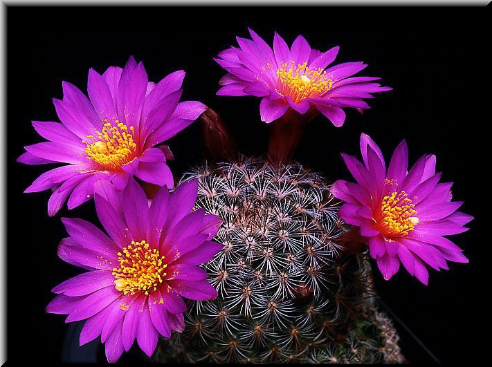 Maria Jose: Cactus En Flor