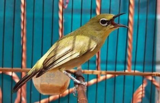 Download Koleksi Suara Burung Pleci Juara