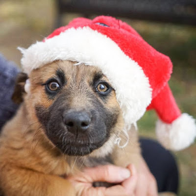 Brown dog wearing a Santa Claus hat.