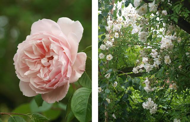 Roser på pergola - The Generous Gardener og Lykkefund
