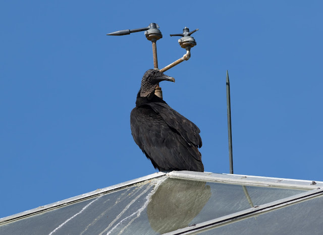 American Black Vulture - Merritt Island, Florida
