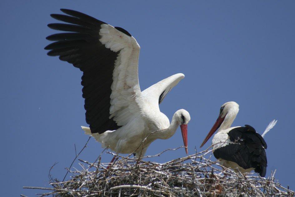 μεγάλο πουλί μαύροι κακοποιοί
