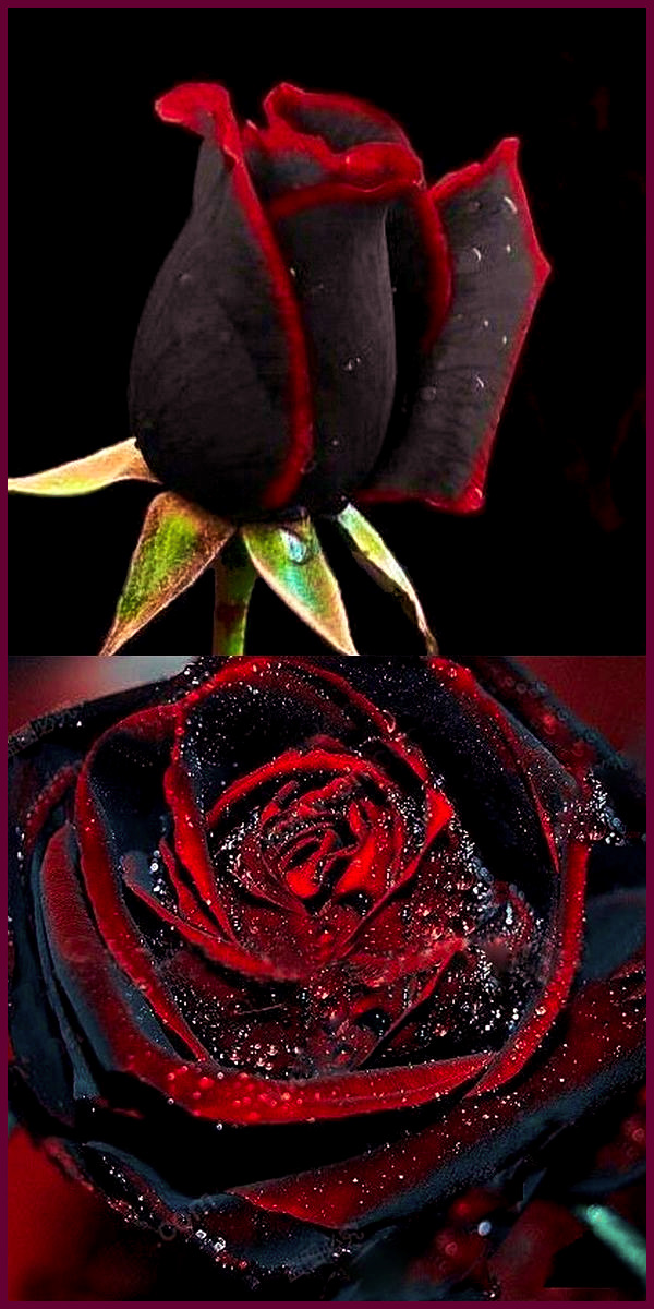 The controversial rare Black Rose of Halfeti, Turkey. The truth is these only look black as buds, in full bloom they are a very deep red that can make it appear black. This Black with Blood Red Fringes Dragon Rose would be almost unique… except you can buy all the seeds you want to grow your own and on the cheap! Go figure! #Flowers #Roses #Black #Red #Dragon