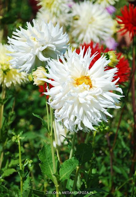 biała dalia do ogrodu wiejskiego
