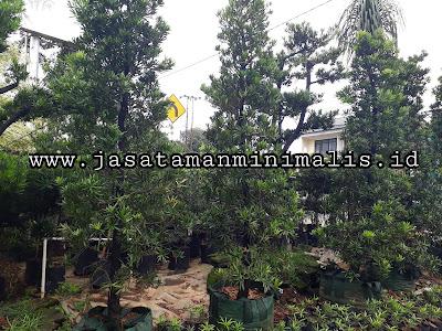 Pohon Lohansung Import Taiwan