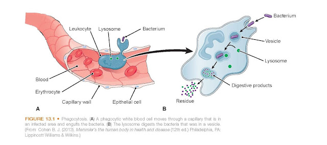 Phagocytosis. (A) A phagocytic white blood cell moves through a capillary that is in an infected area and engulfs the bacteria. (B) The lysosome digests the bacteria that was in a vesicle