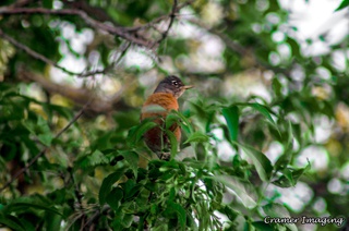 Cramer Imaging's professional nature animal photograph of a robin bird sitting on a leafy tree branch in Pocatello, Bannock, Idaho